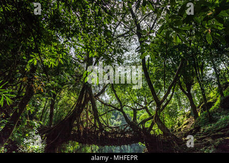 The Living Root Bridge, Riwai, Meghalaya, India - Stock Image