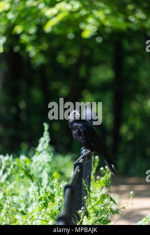 Black crow at Roundhay Park - Stock Image