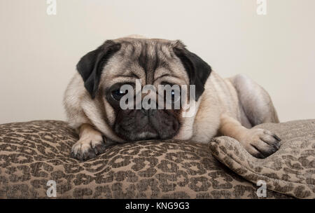 lovely sweet pug puppy dog, lying down on cushions, with leopard print - Stock Image