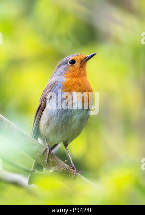 Young European robin - Stock Image