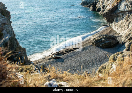 Grey Seal Colony on the Beach of a Rocky Cove in Wicklow on the east coast of Ireland - Stock Image