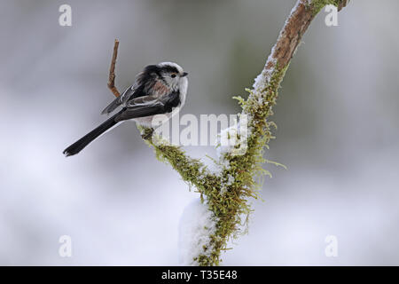 Long-tailed Tit, Aegithalos caudatus, in winter - Stock Image