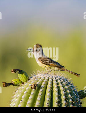 A Brown-crested Flycatcher, (Myiarchus tyrannulus brings food to a nest in a Saguaro (Carnegiea gigantea). Tucson - Stock Image
