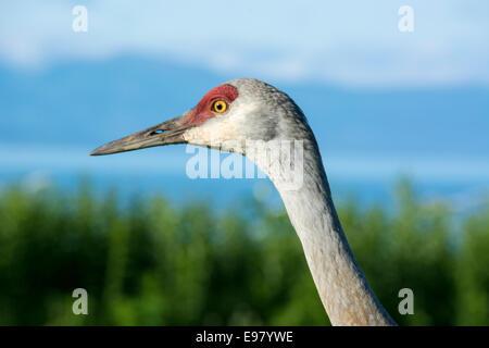 Close up of the head of a Sandhill Crane, Grus canadensis, showing sky through the nares (nostrils). Homer, Alaska, - Stock Image