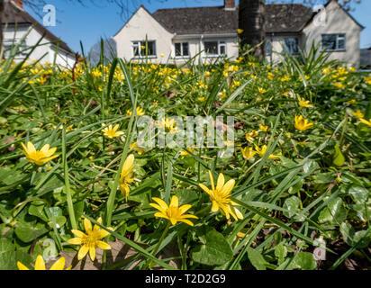 Celandine flowers growing wild amongst grass beside housing in Sidmouth, Devon, - Stock Image