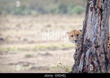 Young Cheetah,  Acinonyx  jubatus, hiding and peeking from behind a tree in the Masai Mara, Kenya, East Africa - Stock Image