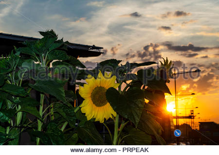 Yellow sunflowers and golden sunset in Stockholm - Stock Image