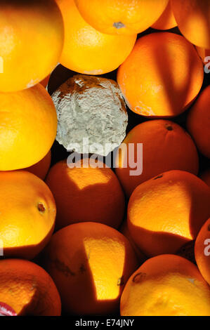 Rotten orange in a box of oranges - Stock Image