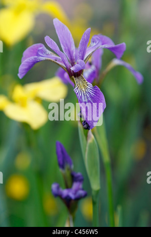 Selective focus image of a blooming Larger Blue Flag (Iris versicolor) - Stock Image