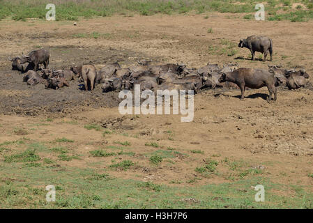 Herd of African buffalo or Cape buffalo wallowing in a mud hole of a dried up river in the Hluhluwe–iMfolozi Park - Stock Image