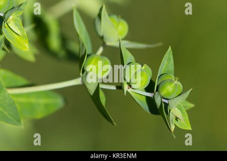 fruchtstand caper spurge / fruit stand euphorbia lathyris - Stock Image