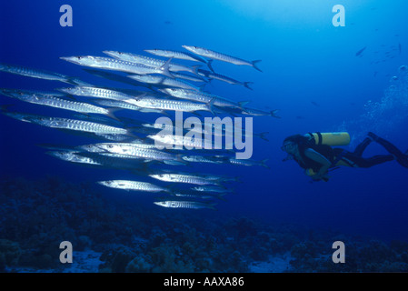 diver and schooling barracuda - Stock Image