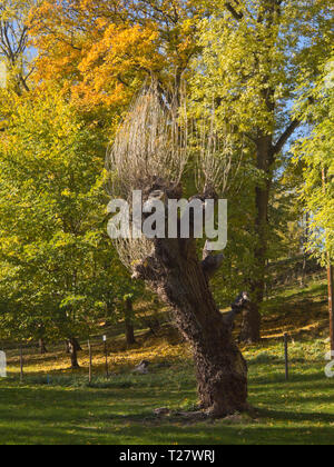 A bare tree trunk as a troll with hair branches standing up in an autumnal woodland in Hovedoya Oslo Norway - Stock Image