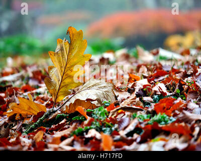 close-up of fallen autumnal leaves on the ground with golden acer in the background autumn leaf leave brown gold - Stock Image
