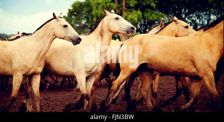 Herd of Horses - Stock Image