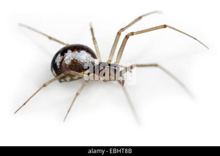 Female Neriene peltata spider on white background, Family Linyphiidae, Sheetweb weavers. - Stock Image