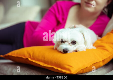 Small white maltese dog is lying on the orange pillow with woman in the background. - Stock Image
