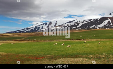 East Iceland landscape with sheep - Stock Image