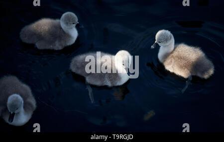 Swan cygnets at Kew Gardens, Surrey - Stock Image