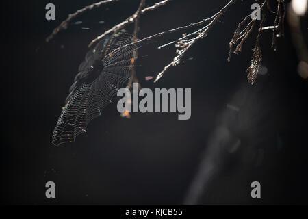 Kanada, British Columbia, Johnstone Strait, filigranes Spinnennetz auf Hanson Island - Stock Image