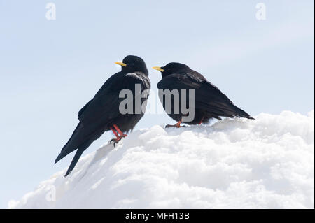 A pair of Alpine Chough or Yellow-Billed Chough, (Pyrrhocorax graculus), Bavaria, German and Austrian Alps - Stock Image