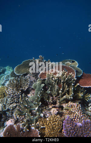 Healthy staghorn and plate Acropora corals, Moore Reef, Great Barrier Reef, Queensland, Australia - Stock Image