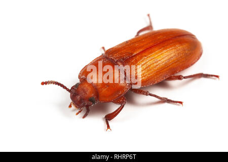 Adult mealworm beetle, Tenebrio molitor, a pest of foodstuffs, on a white background - Stock Image