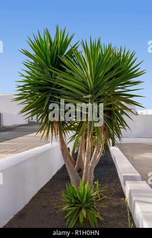 Multi stemmed yucca plant Yucca aloifolia Spanish dagger / bayonet - Stock Image