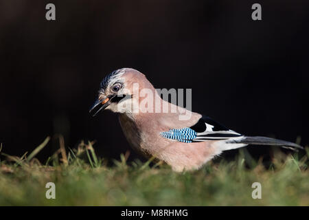 Eurasian Jay (Garrulus glandarius) searching for food in a meadow - Stock Image