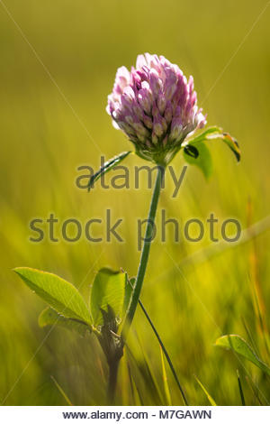 Closeup of single red clover flower with shallow depth of field - Stock Image