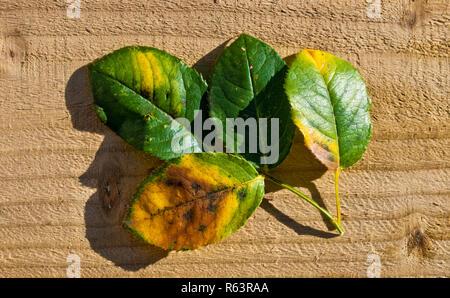 Black spot fungal disease on rose leaves diplocarpon rosae - Stock Image