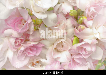Lots of white and pink freesia flowers and green buds, nostalgic and romantic setting in soft light, highlight vignette, - Stock Image