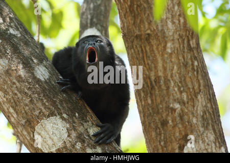 Male mantled howler monkey (Alouatta palliata) calling. Tropical dry forest. Palo Verde National Park, Guanacaste, - Stock Image