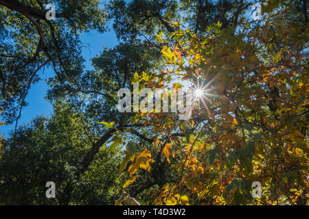 Midday sunlight shines down through the leaves of a forest canopy. - Stock Image