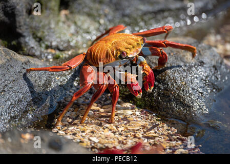 Sally Lightfoot crab, Galápagos - Stock Image