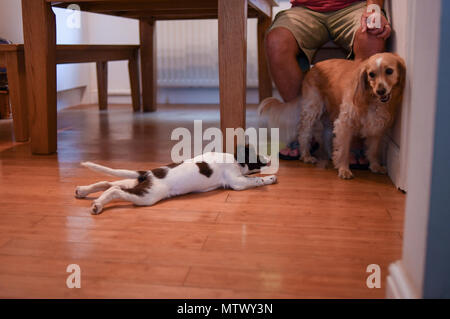 A 10 week old English springer spaniel puppy socialises with an adult dog who is hesitant with the meeting. - Stock Image