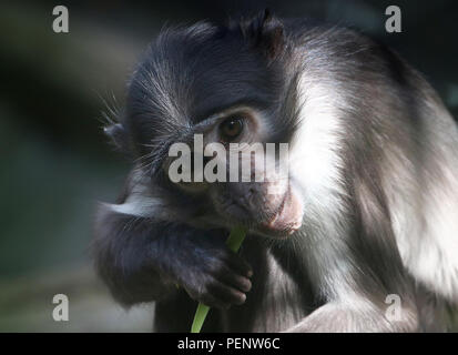 Feeding  West African White-crowned mangabey (Cercocebus atys/ torquatus lunulatus) A.k.a. Sooty, White-naped or white-collared mangabey - Stock Image