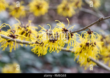 Hamamelis x intermedia 'Barmstedt Gold'. Witch hazel flowers. - Stock Image