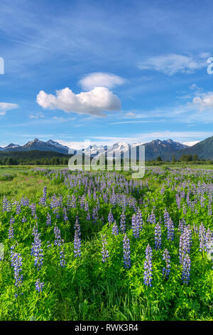 Scenic view of Nootka lupine (Lupinus nootkatensis) wildflowers and Mendenhall Towers, Southeast Alaska; Alaska, United States of America - Stock Image