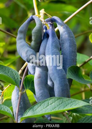 Ornamental blue autumn seedpods of the hardy deciduous shrub, Decaisnea fargesii - Stock Image