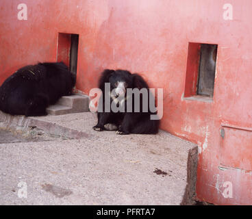 Sloth Bear Sitting Up - Stock Image