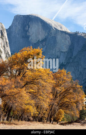Cottonwood trees. Yosemite Valley, Yosemite National Park, Mariposa County, California, USA - Stock Image