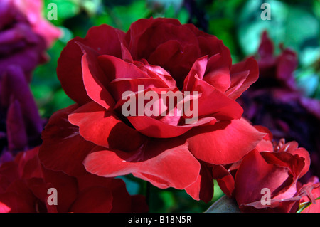 red flowers detail petals - Stock Image