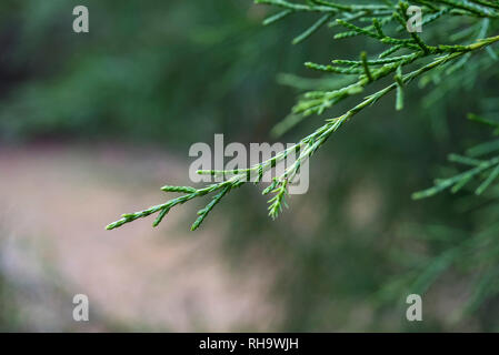 Closeup of Southern Red Cedar tree branches. - Stock Image