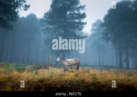 A horse is seen in the mist in a forest near Dullstroom village in South Africa - Stock Image
