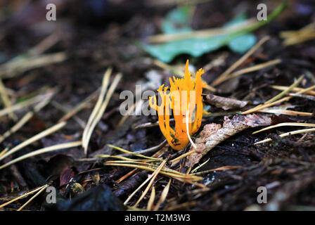 Yellow staghorn (also caled Jelly Antler Fungus, Calocera viscosa), growing in Nesscliffe, Shropshire, England. - Stock Image