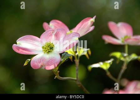 Flowering Dogwood tree, Cornus Florida Rubra - Stock Image