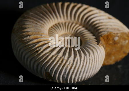 Fossil ammonite - Stock Image