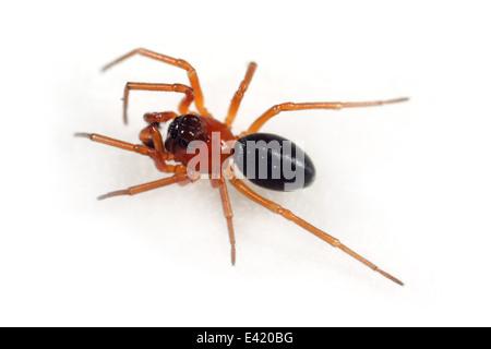 Male Marsh knob-head spider (Hypomma bituberculatum), part of the family Linyphiidae, Sheetweb weavers. Isolated - Stock Image