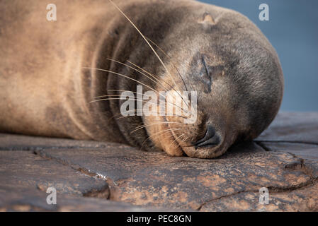 Sea Lions, Galápagos Islands - Stock Image